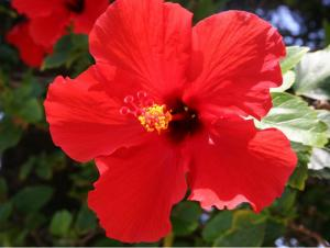 Red Maui Hibiscus 2005