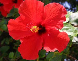 Maui Red Hibiscus 2005