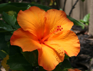 Orange Maui Hibiscus 2005