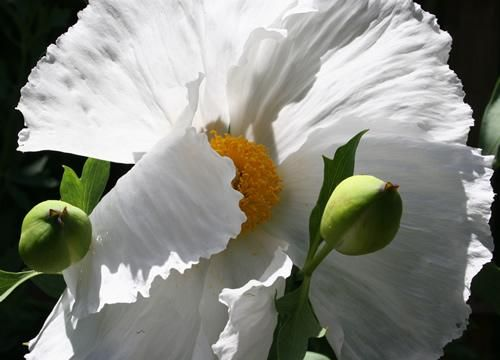 Matilija Poppy - San Francisco